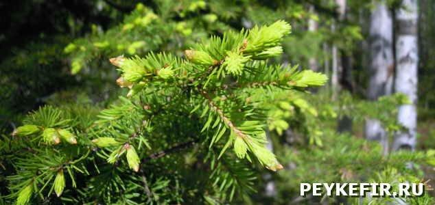 польза хвойных деревьев